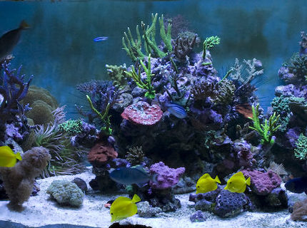 Rated #9: Saltwater Fish - Zebrasoma Flavescens - Yellow Tang - Hawaii Stocking In 400 Gallons Tank - 7.5 ft Long - 3 ft Wide - 2.5ft High 6 Ft Sump = 400 UK Gallons  8 Streams all hidden in Weirs GHL Profilux  4 * 400 Watt Halides with Coralview Electronic Ballasts and Luminarc 3 Reflectors.  Currently using 20k Radium lamps  Aquamedic 5000 Twin Skimmer Aquamedic Titan 2000 Chiller  2 * 150 gallon water change VATS
