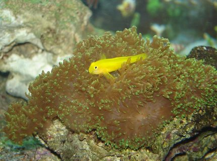 saltwater fish - gobiodon okinawae - clown goby, yellow stocking in 76 gallons tank - Goby hanging out