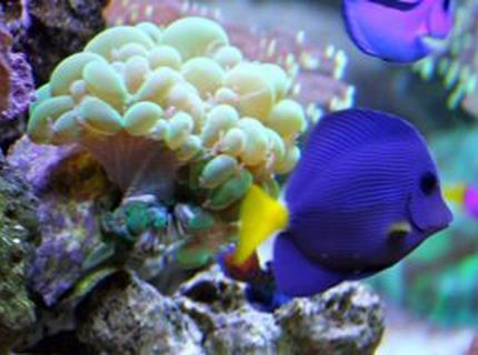 saltwater fish - zebrasoma xanthurum - purple tang stocking in 210 gallons tank - Purple Tang - SURVIVOR he has been hell and back. Love this fish!!!