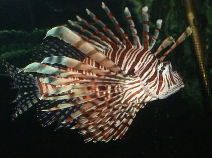 Big Lionfish  Has a couple battlewounds on his rear tail  Rough measurement hes 9 12 inches from the tip of his tail to his mouth About a year old