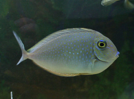 saltwater fish - naso brevirostris - blue unicorn tang stocking in 220 gallons tank - Lopez Tang / Blue spot tang / unicorn tang....so many names. I suspect she is not a unicorn tang, but I have had mixed suggestions