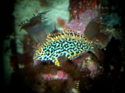 saltwater fish - macropharyngodon meleagris - leopard wrasse stocking in 90 gallons tank - nice lepord wrasse