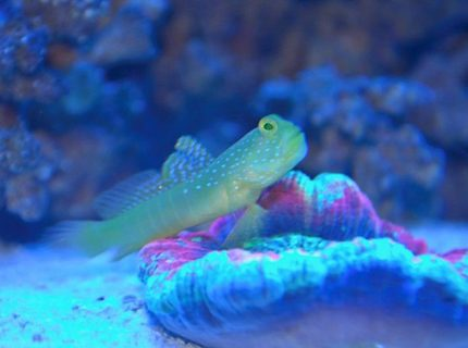 saltwater fish - cryptocentrus cinctus - yellow watchman goby stocking in 14 gallons tank - yellow watchman on the scoly