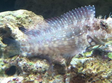 saltwater fish - salarias fasciatus - sailfin/algae blenny stocking in 46 gallons tank - Lawnmower aka OSCAR