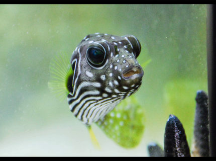 Rated #4: Saltwater Fish - Arothron Hispidus - Stars And Stripes Puffer Stocking In 90 Gallons Tank - puffy stars and stripes puffer