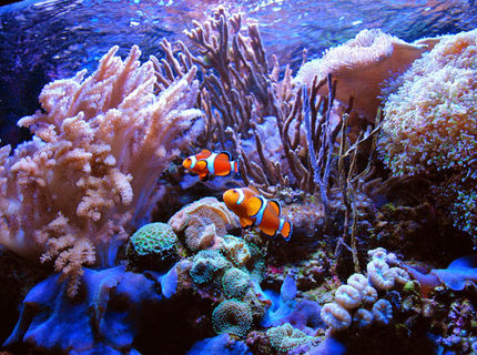 Rated #2: Saltwater Fish - Amphiprion Percula - True Percula Clownfish Stocking In 125 Gallons Tank - Perculas at home