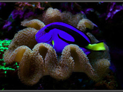 saltwater fish - paracanthurus hepatus - blue tang - rate it