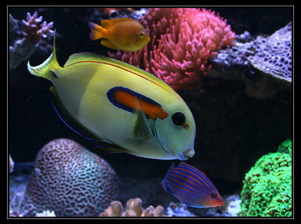 Rated #7: Saltwater Fish - Acanthurus Olivaceous - Orangeshoulder Tang Stocking In 554 Gallons Tank - acanthurus Olivaceus