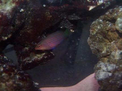 saltwater fish - pseudocheilinus hexataenia - six line wrasse stocking in 55 gallons tank - six line wrasse