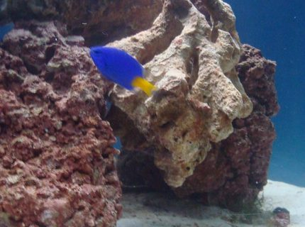 saltwater fish - chrysiptera parasema - yellowtail damselfish stocking in 20 gallons tank - damsel