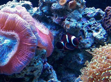 saltwater fish - premnas biaculeatus - maroon clownfish stocking in 65 gallons tank - NEMO