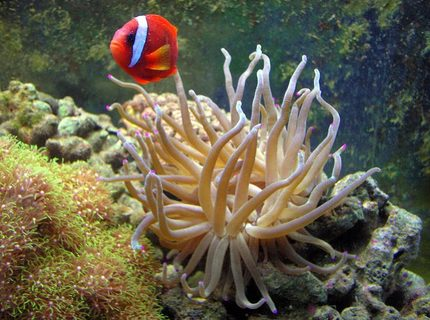 saltwater fish - amphiprion frenatus - tomato clownfish stocking in 55 gallons tank - Tomato Clown