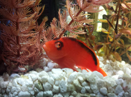 Rated #4: Saltwater Fish Stocking In 40 Gallons Tank - My Flame Hawkfish