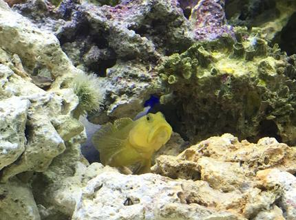 saltwater fish stocking in 75 gallons tank - Goby