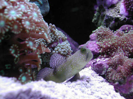 saltwater fish - cryptocentrus cinctus - yellow watchman goby stocking in 20 gallons tank - Yellow Watchman Goby