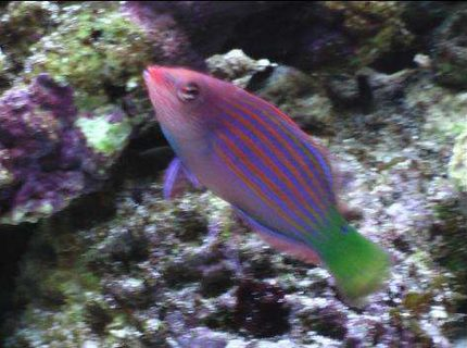 saltwater fish - pseudocheilinus hexataenia - six line wrasse stocking in 24 gallons tank - here is a low quality pic of my sixline wrasse