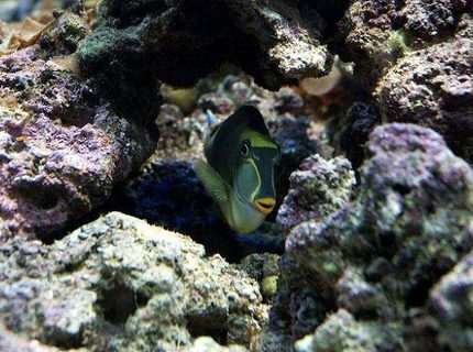 saltwater fish - naso elegans - naso blonde tang stocking in 190 gallons tank - Blonde Naso Tang