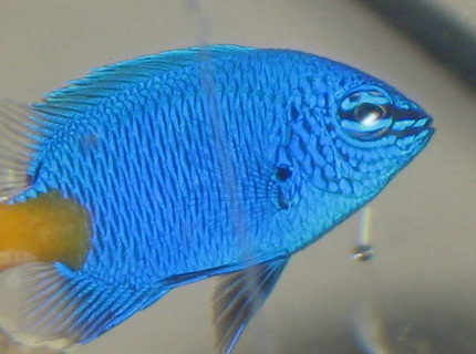 saltwater fish - chrysiptera parasema - yellowtail damselfish stocking in 10 gallons tank - my new yellow tailed damsel