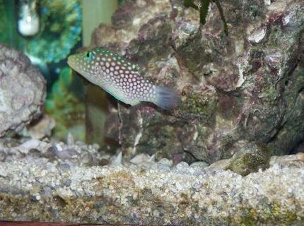 The spotted puffer