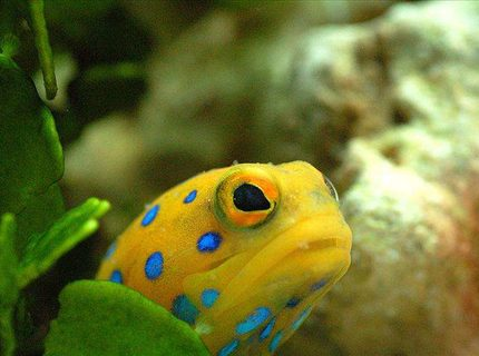 Rated #4: Saltwater Fish - Opistognathus Rosenblatti - Blue Spot Jawfish Stocking In 90 Gallons Tank - Bluespot Jawfish