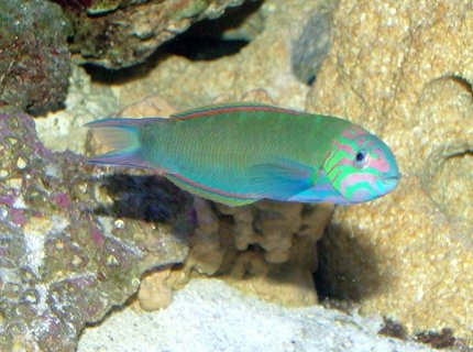 saltwater fish - thalassoma lunare - moon wrasse stocking in 150 gallons tank - Mr. Moon