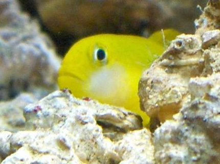saltwater fish - gobiodon okinawae - clown goby, yellow stocking in 14 gallons tank - yellow clown goby, R.I.P