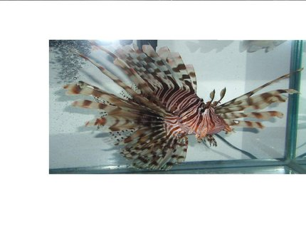 saltwater fish - pterois volitans - volitan lionfish stocking in 2 gallons tank - 8
