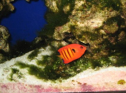 saltwater fish - centropyge loriculus - flame angelfish stocking in 75 gallons tank - Flame Angle