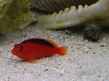 saltwater fish - neocirrhitus armatus - flame hawkfish stocking in 105 gallons tank - Armatus