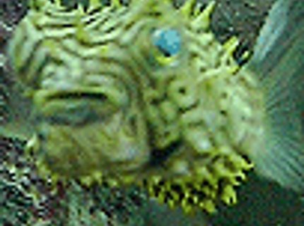 saltwater fish - chilomycterus schoepfi - spiny box puffer stocking in 110 gallons tank - ET Puffer