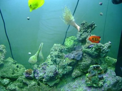 saltwater fish - centropyge loriculus - flame angelfish stocking in 157 gallons tank - coolness