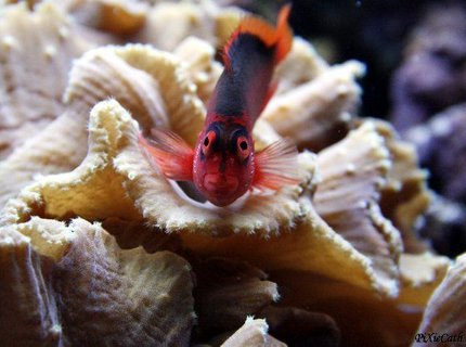 saltwater fish - neocirrhitus armatus - flame hawkfish stocking in 125 gallons tank - Flame hawkfish