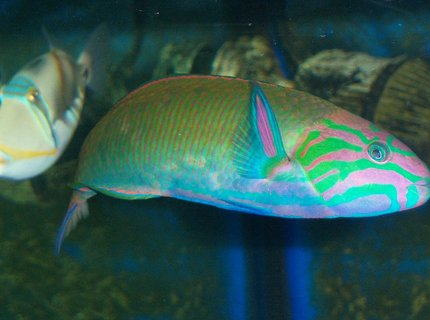 saltwater fish - thalassoma lunare - lyretail wrasse stocking in 180 gallons tank - Lunar Wrasse