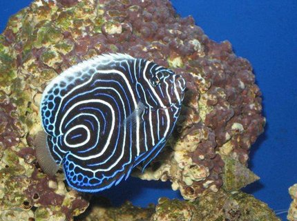 saltwater fish - pomacanthus imperator - imperator angelfish stocking in 20 gallons tank - Imperator Angelfish Juv.