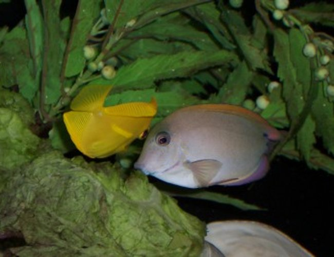 saltwater fish - acanthurus nigrofuscus - lavender tang - Our lavender tang getting cleaned by our cleaner shrimp.
