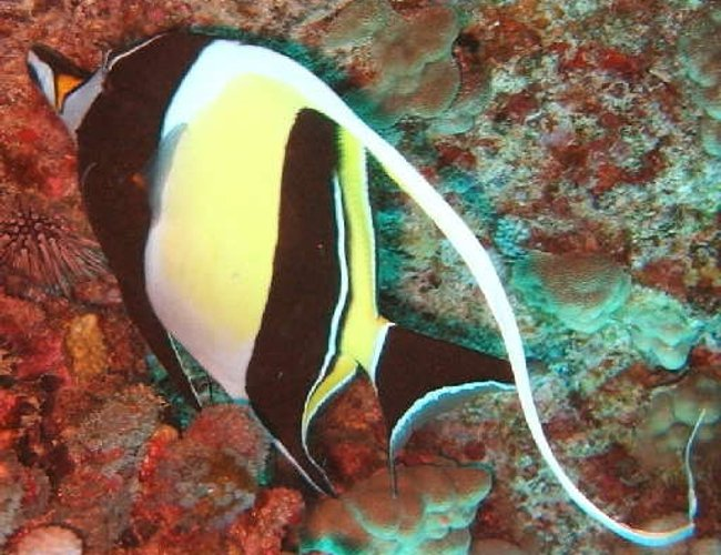 saltwater fish - zanclus canescens - moorish idol stocking in 40 gallons tank - Moorish Idol.The Moorish Idol has a very long, white, sickle-shaped dorsal fin, two broad black bars on the body, and a yellow saddle across the snout.It uses its long snout to feed on coralline algae and sponges in cracks and crevices. 