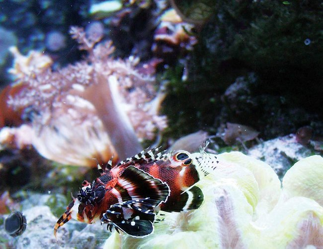 saltwater fish - dendrochirus biocellatus - fu manchu lionfish stocking in 24 gallons tank - Lion fish (fire fish) this is a cool addition to any reef tank