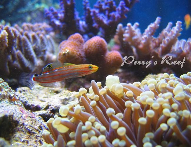 saltwater fish - amblygobius rainfordi - court jester goby stocking in 100 gallons tank - Amblygobius rainfordi