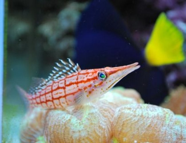 saltwater fish - oxycirrhites typus - longnose hawkfish stocking in 60 gallons tank - Long nose hawkfish (We call Marlin)