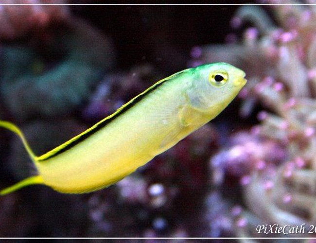 saltwater fish - meiacanthus oualanensis - canary blenny stocking in 125 gallons tank - Green canary blenny