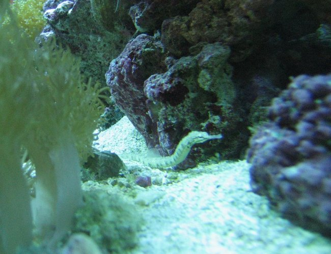 saltwater fish - corythoichthys sp. - dragonface pipefish stocking in 75 gallons tank - Pipe fish