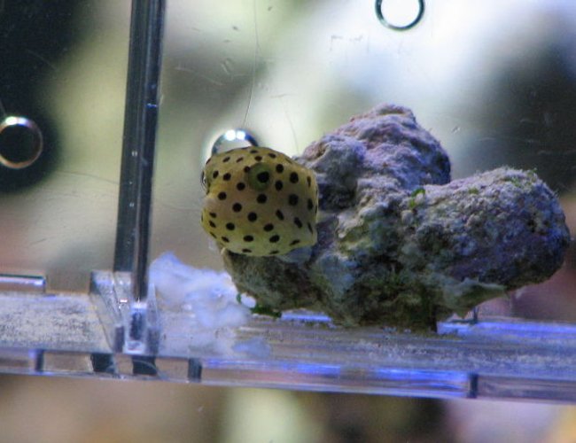 saltwater fish - ostracion cubicus - cubicus boxfish stocking in 125 gallons tank - my boxfish