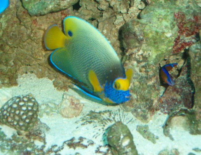 saltwater fish - pomacanthus xanthometopon - blueface angelfish stocking in 150 gallons tank - BlueFace