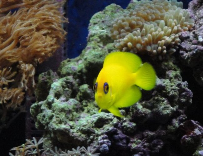 saltwater fish - centropyge flavissima - lemonpeel angelfish stocking in 39 gallons tank - lemonpeel angel