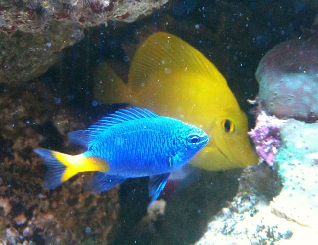 saltwater fish - chrysiptera parasema - yellowtail damselfish stocking in 125 gallons tank - yellow tail damsel