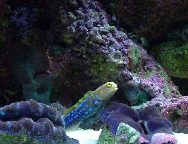 saltwater fish - opistognathus rosenblatti - jawfish, blue dot stocking in 120 gallons tank - jawfish