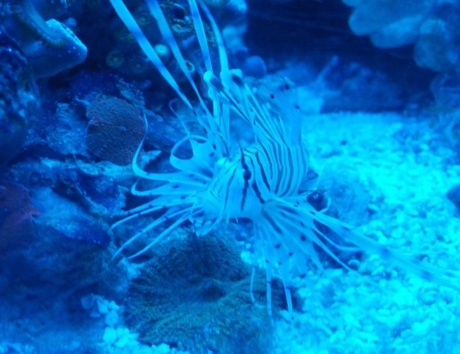 saltwater fish - pterois volitans - volitan lionfish, colored stocking in 72 gallons tank - Baby Lion
