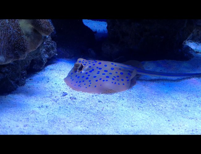 saltwater fish - taeniura lymma - blue dot stingray stocking in 510 gallons tank - Blue spotted ray