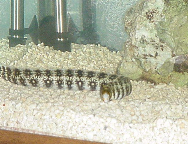 saltwater fish - echidna nebulosa - snowflake eel stocking in 90 gallons tank - The Eel is bigger too