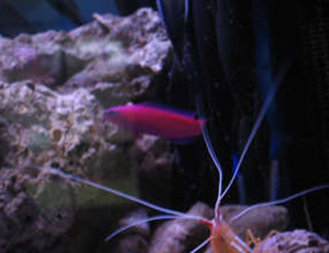 saltwater fish - pseudochromis porphyreus - purple pseudochromis stocking in 38 gallons tank - tank 1 purple psuedo